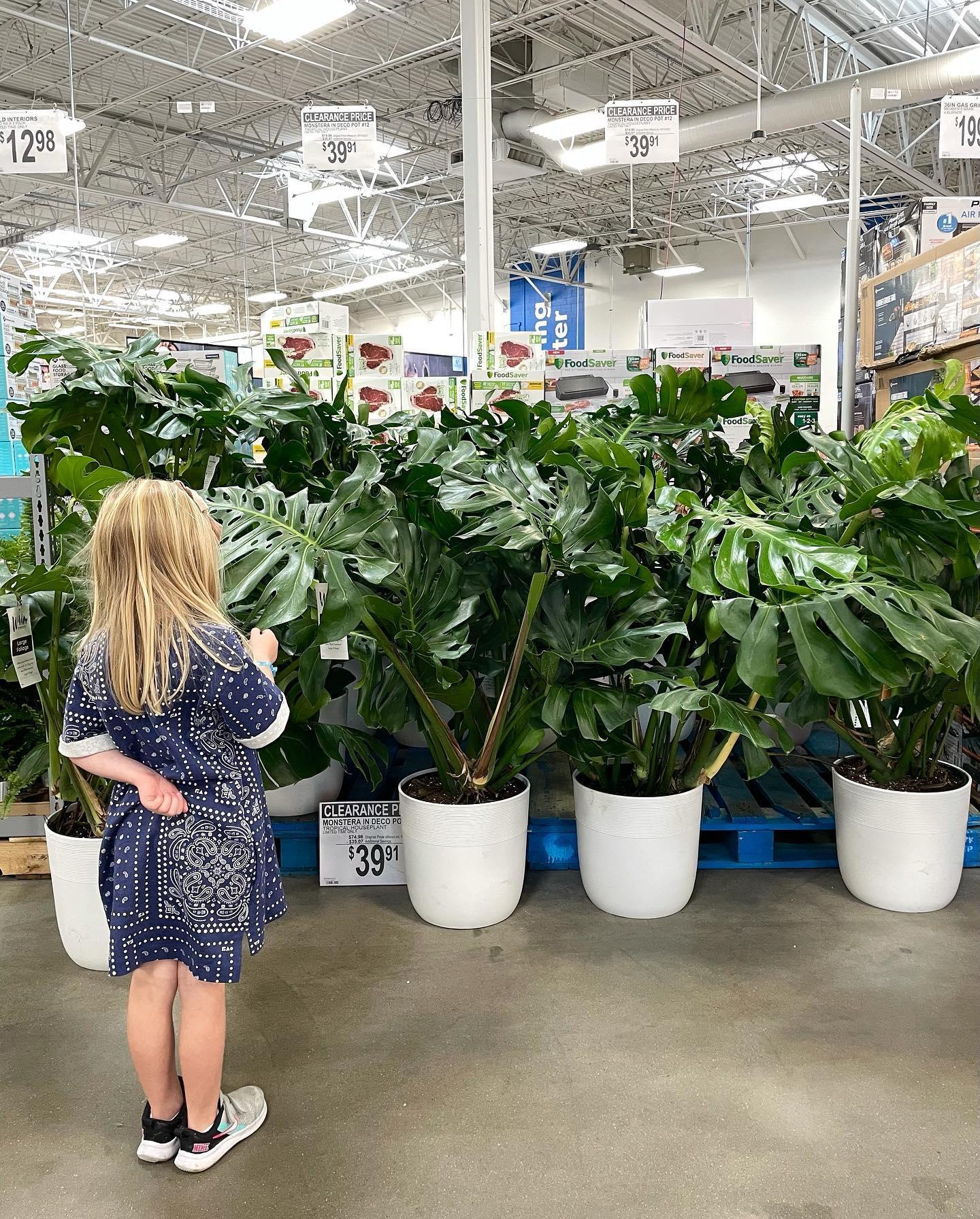 Giant Monstera Plants